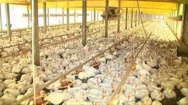 Embargo à exportação de frango brasileiro pela UE atinge oito frigoríficos do Paraná - O estado é o maior produtor de frango do país