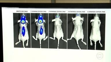 Cientistas descobrem que vírus da Zika pode ser aliado no tratamento contra tumores - Pesquisa com camundongos mostrou redução rápida do câncer no cérebro e das metástases na coluna