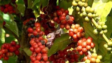 Produtores de café conilon estão preocupados com excessiva oferta do grão no extremo sul - A região vem recebendo chuvas regulares que contribuem para uma produção regular.