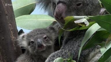 Ana Maria Braga será madrinha do primeiro bebê coala nascido no Brasil - Casal de coalas chegou ao Aquário de São Paulo em 2016 e já teve o primeiro filhotinho. O público vai votar para escolher o nome do bebê