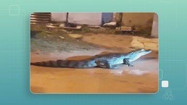 Em Guajará-Mirim dois jacarés foram encontrados passeando pelas ruas - Os jacarés foram conduzidos até seu habitat natural.