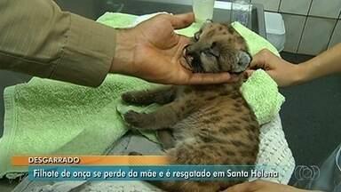 Filhote de onça parda é resgatado após se perder da mãe, em Santa Helena de Goiás - Animal foi encontrado por um fazendeiro em uma usina. Ele o alimentou e o levou para o Corpo de Bombeiros, que disse que o felino tem poucos dias de vida e estava desidratado.