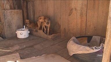 Canil opera em condições precárias na Serra de SC; cães morreram por contaminação - Canil Municipal opera em condições precárias na Serra de SC; cães morreram por contaminação