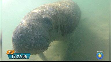 Peixe boi marinho atropelado por embarcação no litoral norte da Paraíba - Os animais estão sendo atropelados por embarcações motorizadas.
