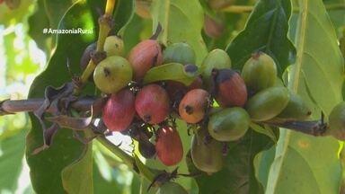Parte 2: Acrelândia se destaca como maior produtor de café no Acre - Para 2018 é esperada safra 30% maior que o ano anterior.