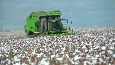Maior produtor do país começa a colheita de algodão - Em Mato Grosso, as máquinas estão no campo. O clima ajudou e a espectativa é produzir mais de um milhão de toneladas de pluma. Crescimento de mais de 20%.