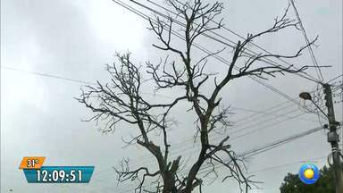 Árvore seca corre risco de desabar em rua de João Pessoa - Moradores pedem ajuda para resolver o problema.