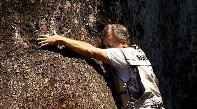 """Encontro emocionante: """"Caçador de Jequitibás"""" conhece o """"guardião"""" do Parque Vassununga - Responsável por produzir e doar mudas da espécie, Luiz Zavagli conheceu um dos maiores jequitibás do Brasil."""