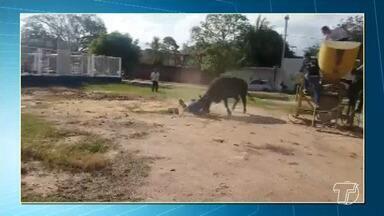 Búfalos fogem, atacam pessoas e causam 'terror' em Santarém - Algumas pessoas ficaram feridas tentando capturar os animais.