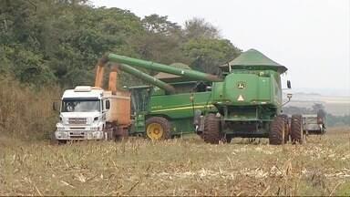 Agricultores de Ponta Porã aproveitam brechas do tempo para terminar colheita do milho - Com queda na produtividade estadual e demanda aquecida, os preços estão em alta.