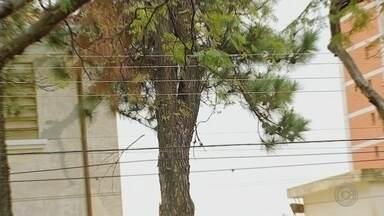 Projeto propoõe derrubada de 170 árvores em Bauru por conta de fiação elétrica - Um projeto de derrubada de árvores está causando polêmica em Bauru (SP). A CPFL apontou a necessidade de derrubar cerca de 170 árvores que estariam afetando a rede elétrica e causando constantes quedas de energia.