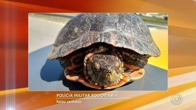 Tartaruga exótica é resgatada em rodovia de Sorocaba - Uma tartaruga exótica foi resgatada pela Polícia Rodoviária, na manhã desta quarta-feira (29), no quilômetro 94 da Rodovia Raposo Tavares, em Sorocaba (SP).