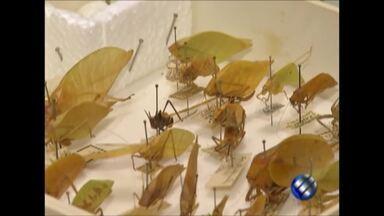 Coleção de insetos do Museu Nacional é salva do fogo porque estava na UEPA, em Belém - Entretanto, parte de coleção do Museu Emilio Goeldi se perdeu.