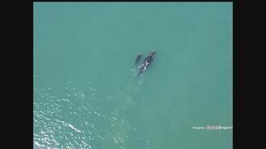 Mais de 280 baleias-francas são vistas entre Florianópolis e Passo de Torres - Mais de 280 baleias-francas são vistas entre Florianópolis e Passo de Torres