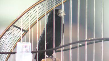 Competição reúne criadores de pássaros de vários estados em Feira de Santana - Durante o evento aconteceu o torneio de canto com a espécie de aves 'Bicudo'.