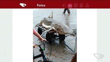 Tubarão cai na rede de pescadores em Marataízes, no Sul do ES - Tubarão é o conhecido como cação, que não é muito comum no litoral Sul do ES.