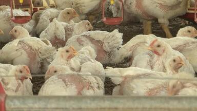 Produtores de frango ainda sofrem com os reflexos causados pela greve dos caminhoneiros - A Bahia tem atualmente 485 granjas, com mais de 17 milhões de frangos.