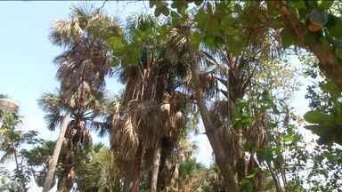 Alunos participam de projeto sobre árvores em Balsas - Estudantes de escolas públicas participaram a semana inteira de um projeto e plantio de árvores na cidade e o encerramento foi num parque ambiental.