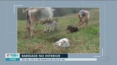 Vaca dá à luz três bezerros em uma só gestação no Sul do ES - Caso é raro.