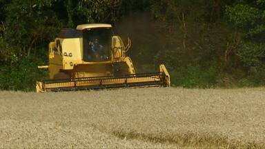 Chuva atrasa colheita de trigo - Segundo o Deral, até agora os agricultores colheram 20%. Nesta mesma época do ano passado o índice era de 65%.