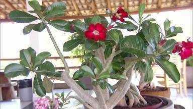 Primeira Exposição do Norte de Minas de rosas do deserto é realizada em Janaúba - Veja a programação.