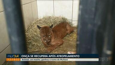 Onça se recupera após atropelamento em Maringá - O animal foi encontrado por um motorista, na quinta-feira