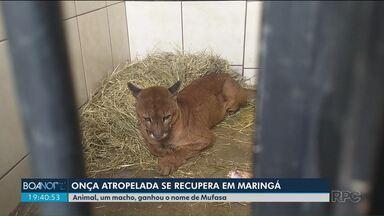 Onça se recupera após atropelamento na região de Maringá - Em quinze dias o animal deve ser solto.