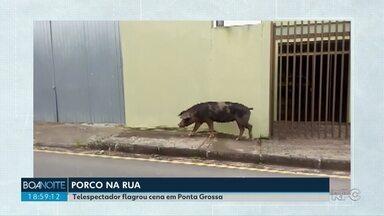 Vídeo mostra porco caminhando em Ponta Grossa - Um telespectador registrou o passeio do animal pela cidade.
