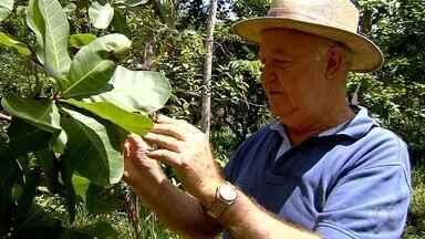 Professor de agronomia explica sobre tipos de cajuzinho do cerrado, em Goiânia - Espécies se dividem em rasteiras e também em árvores.