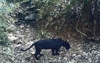 Onça-preta em Goiás - Pesquisadores capturam onça-preta para trocar colar de monitoramento.