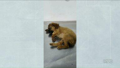 Cachorro é baleado na cabeça em Umuarama - Ele está internado em uma clínica veterinária e deve passar por cirurgia.