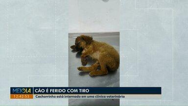 Cachorro fica ferido após levar tiro na cabeça em Umuarama - Autor do disparo ainda não foi identificado. Cão está internado em uma clínica veterinária.