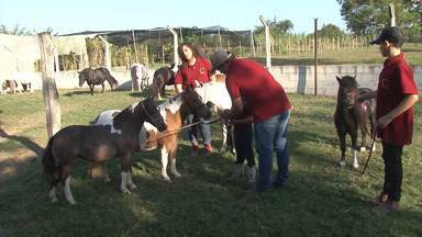 Saiba mais sobre o pônei brasileiro, que faz trabalhos de tração leve e diverte crianças - Conheça uma propriedade em São Gonçalo dos Campos onde os pequenos cavalos são criados há mais de 40 anos.