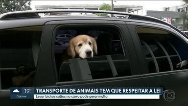 Transporte de animais precisa respeitar a lei - Levar animais soltos no carro pode dar multa. E o problema não é só a falta de segurança para o animal. O motorista também está colocando a própria vida em risco.