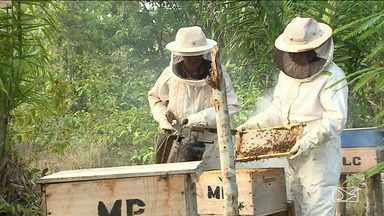 Para manter qualidade do mel, produtores maranhenses investem em melhoramento de abelhas - O problema é que eles ainda enfrentam muita burocracia para colocar a produção no mercado.