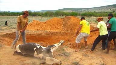 Adab aponta intoxicação alimentar como causa da morte de mais de 100 bois em Tanhaçu - O prejuízo estimado é de R$ 130 mil reais.