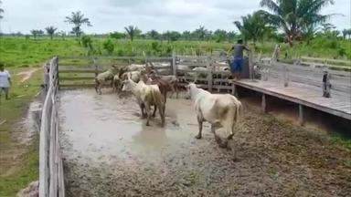 Confira os destaques do nosso Boletim de Notícias - Tem vacinação contra aftosa em aldeias indígenas, zoneamento climático para o plantio de feijão e casqueamento em equinos.