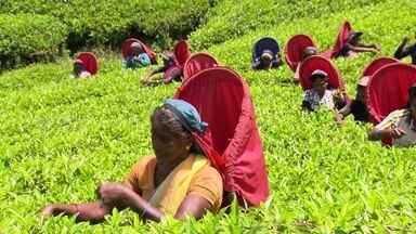 Chá feito no Ceilão, atual Sri Lanka, é considerado um dos melhores do mundo - Na cidade mais alta, Nuwara Eliya, o clima e o solo são perfeitos para as plantações. Ali o chá é plantado, colhido e produzido o ano inteiro.