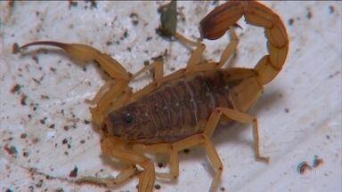 Escorpiões ameaçam cidades no interior de São Paulo - No último fim de semana duas crianças morreram.