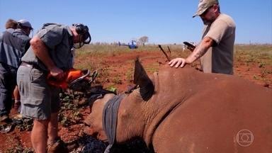Na África do Sul, rinocerontes têm chifres cortados para proteção da espécie - Coordenador do projeto explica que o chifre é como uma unha. Corte não dói e é uma medida extrema que até agora está protegendo os animais dos caçadores ilegais.
