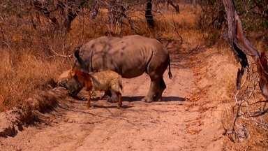 Caça ao rinoceronte na África do Sul também coloca em risco outras espécies - A equipe do Globo Repórter visitou um dos locais secretos onde os animais sobreviventes se recuperam.