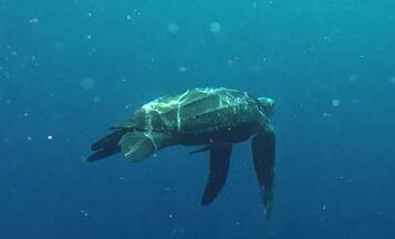 """Mergulhadores libertaram tartaruga-de-couro presa em linha de espinhel - A """"armadilha"""" é um emaranhado de quilômetros de linhas com anzóis afiados e iscas que atraem diversas espécies marinhas."""