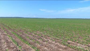 Custos das lavouras e poucas chuvas preocupa agricultores do sul do Maranhão - A escalada na cotação do dólar se refletiu nos custos das lavouras e as chuvas, consideradas poucas, também podem atrapalhar a safra na região.