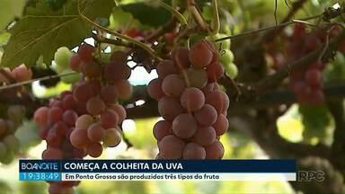 Começa a colheita da uva em Ponta Grossa - Na cidade são cultivados três tipos de uva.