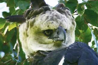 Confira as atrações do Terra da Gente desta semana (12/01) - No Espírito Santo o desafio é encontrar o ninho de uma das aves de rapinas mais imponentes do país: a harpia.