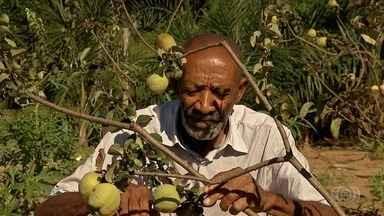 Produtores comemoram safra do marmelo, em Cidade Ocidental - Fruto é tradição familiar e serve de fonte de renda na cidade.