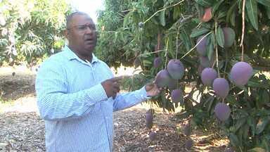 Produtores de fruta do projeto Mandacaru aprendem técnicas de combate a mosca da fruta - A praga atinge muitas plantações de Juazeiro.