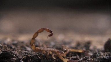 Infestação de escorpiões em todo o Brasil assusta - Verão é uma estação que favorece a reprodução da espécie, que está se tornando um problema urbano. Em 2018, 141 mil incidentes foram registrados pelo país.