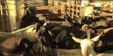 Cuidados para o sucesso na reprodução de ovinos - Saiba mais sobre o manejo adequado para garantir o sucesso na reprodução dos ovinos