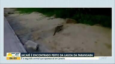 Jacaré é encontrado perto da Lagoa da Parangaba - Esse é o segundo jacaré visto no entorno da lagoa durante o mês de janeiro.